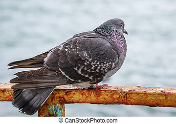 Large gray dove sitting on a rusty metal fence on the background of the water surface.