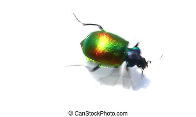 large green beetle running macro