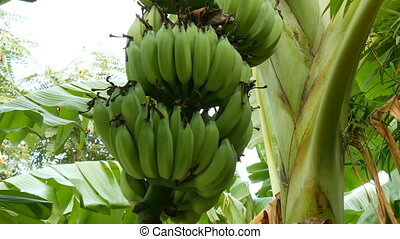 Large green bunch of unripe bananas on palm tree view from...