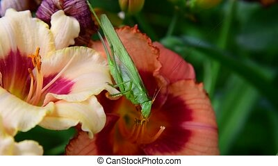large green grasshopper eats pollen on flowers of daylily -...