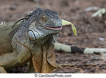 Large Green Iguana chewing on a piece of lettuce
