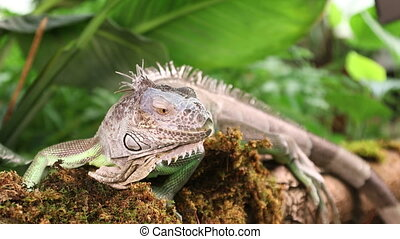 Green Iguana lying on a branch