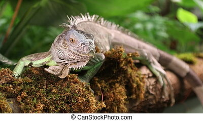 Large Green Iguana male lying on a branch outdoors