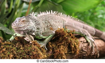 Large Green Iguana on a mossy branch - Large Green Iguana...