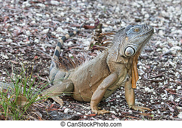 Large Green Iguana sitting in the morning sun