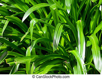 Large green leaves of a grassy plant on nature