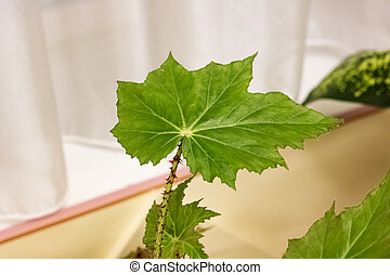 Large green leaves of a home plant