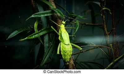Large green locust climbing up the tree closeup footage