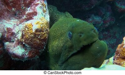 Large Green Moray Eel Close Up With Broken Jaw & Mouth Opening With Sharp Jaws In Colourful Coral Reef. Giant Green Moray Eel Macro Close Up In South Pacific Sea In Rarotonga Cook Islands Polynesia