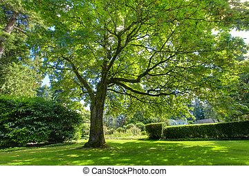 Large green oak tree near historical house.