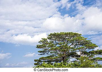 Ryukyu pine tree - Large green Ryukyu pine tree(Pinus ...