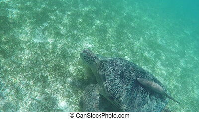 Large Green Sea Turtle Swimming Underwater at Beautiful...