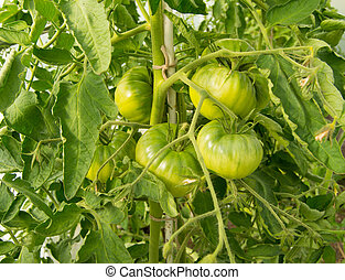 Large green tomatoes growing on the branches - grow in a greenhouse
