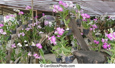 Large greenhouse with beautiful lily orchids. Many delicate purple flowers on in the botanical garden