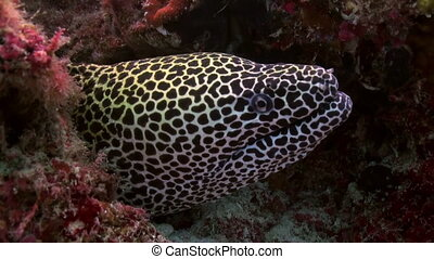 Large Grey Spotted moray eel sitting along the reef in search of food. Amazing, beautiful underwater marine life world of sea creatures in Maldives. Scuba diving and tourism.