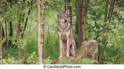 Large grey wolf looking after rivals and danger in the ...