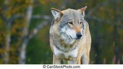 Large grey wolf smells after rivals and danger in the forest...