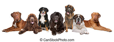 Large group of big dogs in a row, isolated on a white...