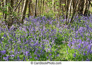 Large group of bluebells in forest
