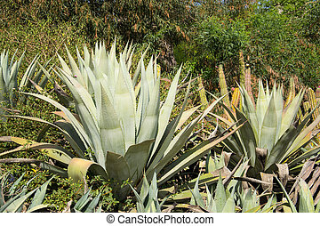 Large group of cactus