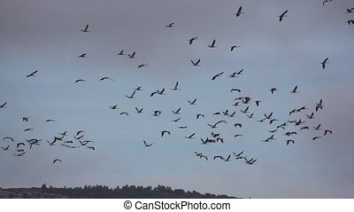 Large group of cranes flying in super slow motion - Large ...