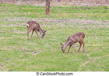 Large group of deer