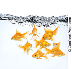large group of goldfish in water