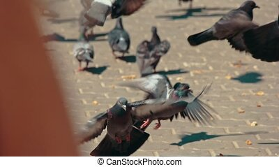 Large group of pigeons walking and bobbing their heads and...