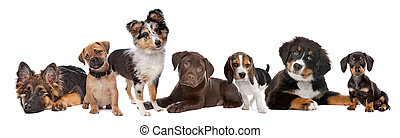 large group of puppies on a white background.from left to right,German Shepherd, mixed breed pug, shetland sheepdog,chocolate Labrador,Beagle,Bernese Mountain dog and a miniature Dachshund