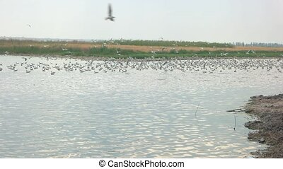 Large group of seagulls. Gulls on the water, summer. Bird...