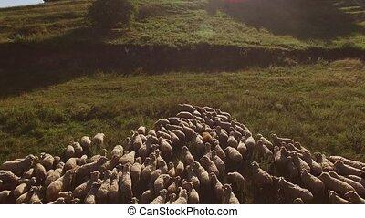 Large group of sheep