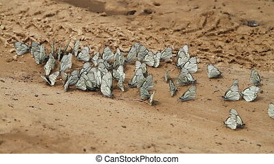 butterflies - large group of white, striped butterflies on...