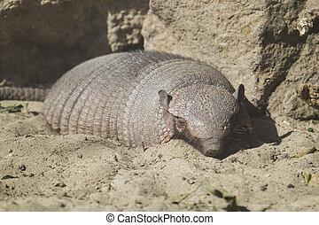 Large hairy armadillo resting
