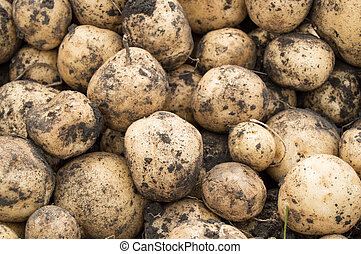 Large harvest of fresh potatoes in the field, the concept of growing organic vegetables and agriculture