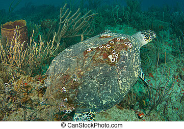 Large Hawksbill Sea Turtle on a coral reef