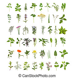 Large medicinal and culinary herb flower and leaf collection, isolated over white background. Forty eight herbs.