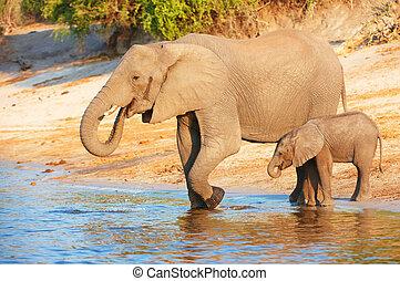 Large herd of African elephants (Loxodonta Africana)...