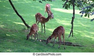 Large herd of Antelope Sitatunga