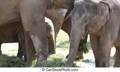 Large herd of Asian Elephants