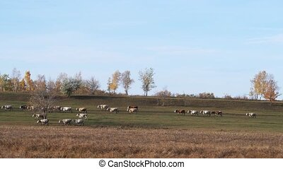 Large herd of cow moving around fall field