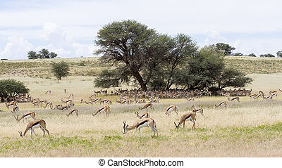 Large herd of springbok resting in the shade of  big camelthorn tree