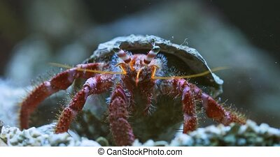 Large hermit crab in the water macro footage