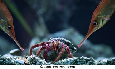 Large hermit crab in the water macro