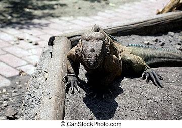 large horned Iguana facing viewer