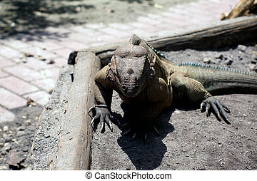 large horned Iguana facing viewer
