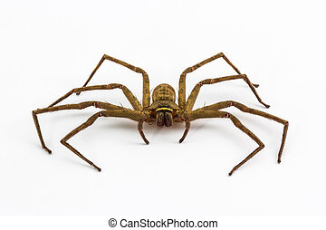 Large house spider isolated on white background, Tegenaria domesticus.