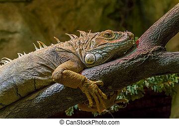 Large iguana on the tree