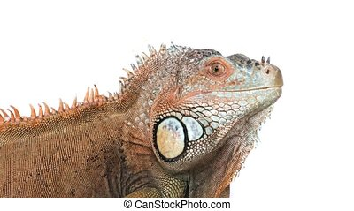 Large green iguana shows its tongue isolated on a white background