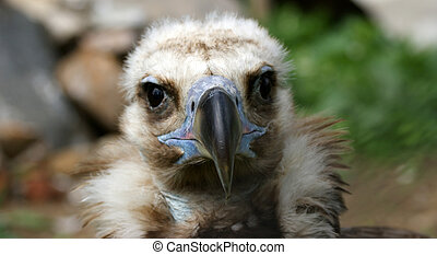 Large image Griffin Vulture (Gyps fulvus), zoo, Moscow, ...