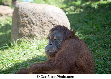 large image of the big terrible orangutan